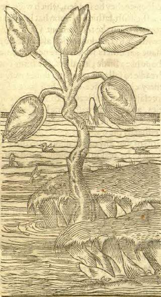 English botany book: depiction of the Barnacle Tree