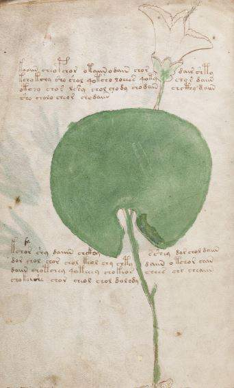 Voynich Manuscript drawing of a rainforest plant